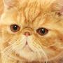 憤怒的肥貓