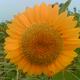 創作者 早起向日葵 的頭像