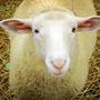 小小羊的草根性