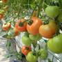 溫室蕃茄網